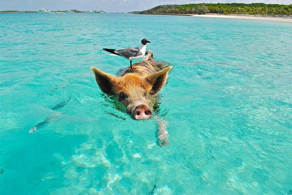 paradise islands pigs
