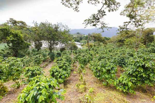 Coffee Farms in Boquete