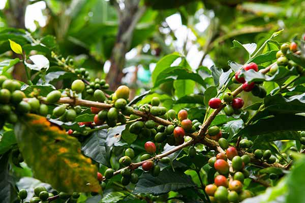Sample-Locally-Sourced-Coffee