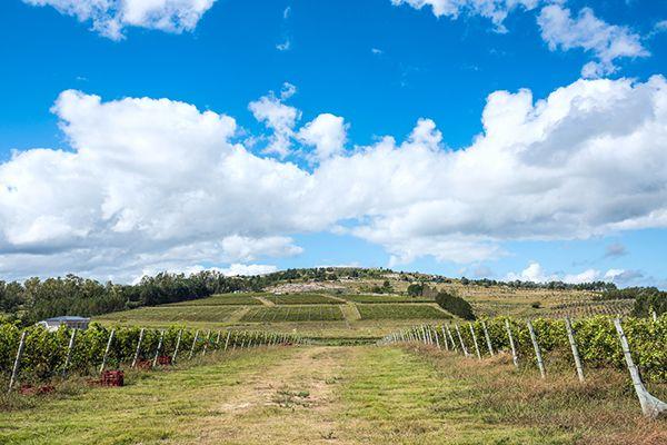Wine in Uruguay