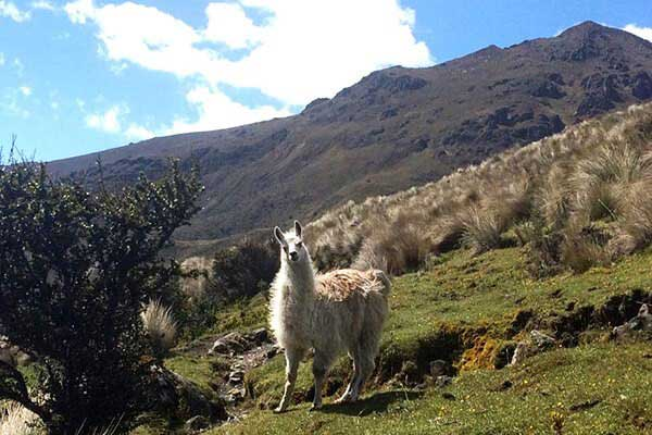 Cajas-National-Park-Llama